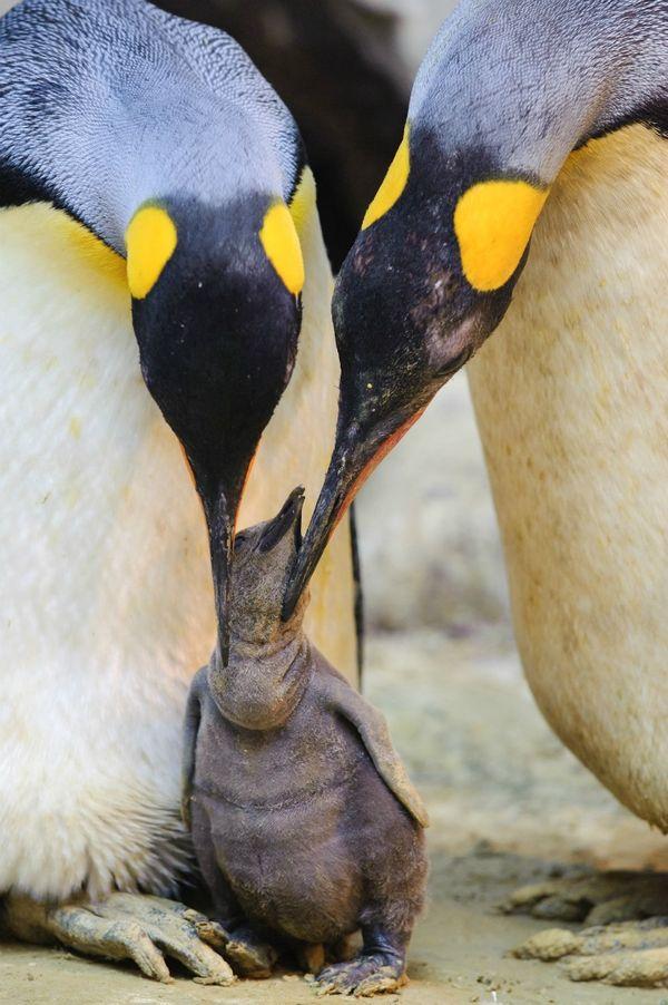 We Three King Penguin Chicks Weigh In - ZooBorns