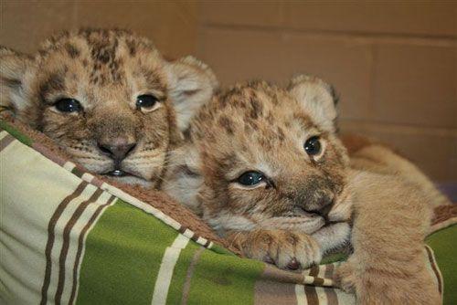 Mtai_serafina_african_lion_cubs3
