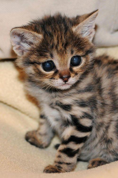 Black-footed-cat-kitten-2