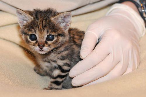 Black-footed-cat-kitten-3