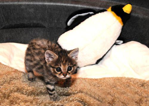 Black-footed-cat-kitten-7