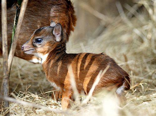Lowry Park Zoo Royal Antelope 2