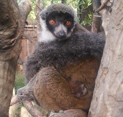 Mongoose Leumr Sacramento Zoo 2