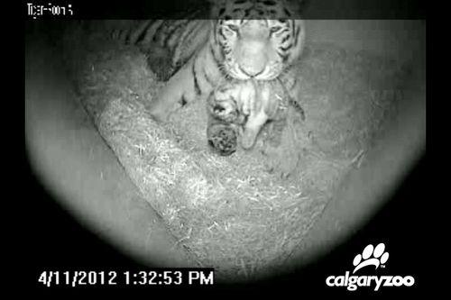Tiger03-update