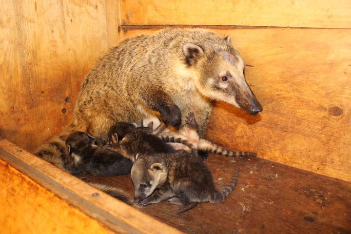 Coati Zoo Brno 7