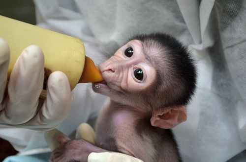 Mangabey_Museum-of-Natural-History6