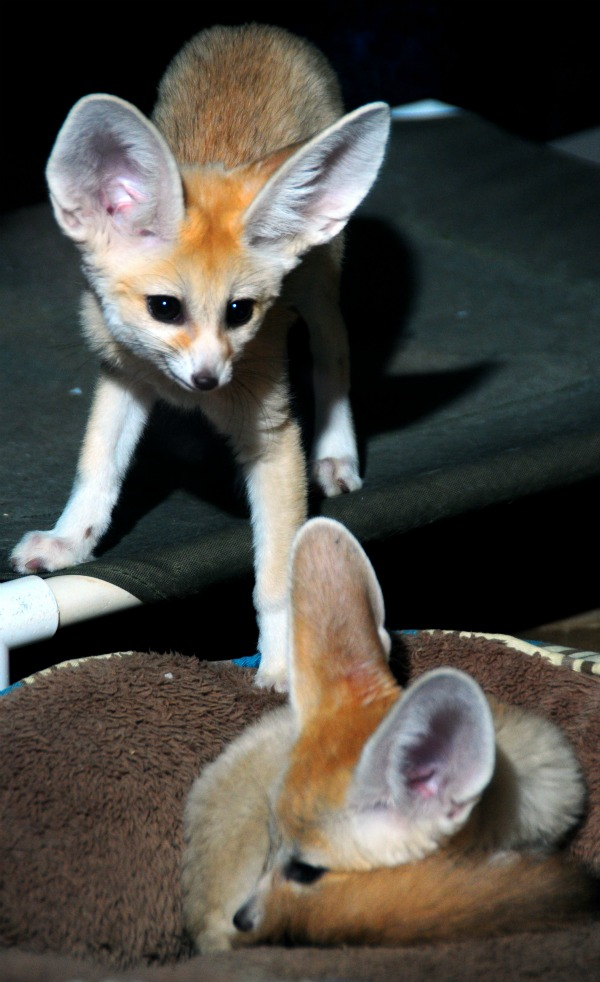 Fennec_fox_kits_4-12-12 (52)