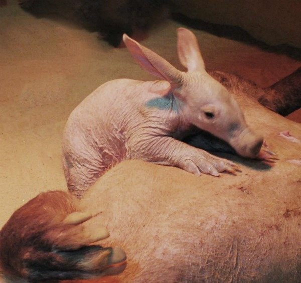 Aardvark Baby with Mom at Colchester Zoo 2a
