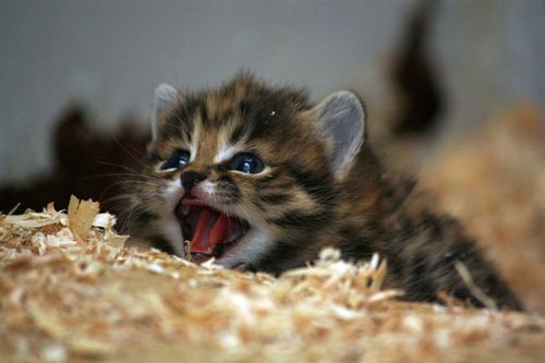 Blackfooted Kitten Looking Ferocious