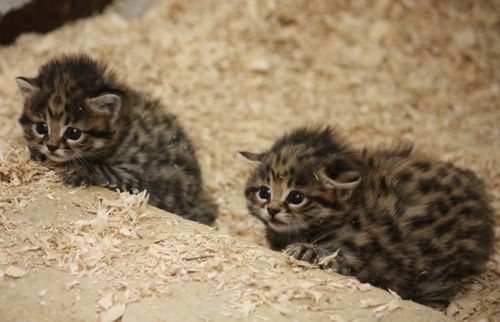 Two Blackfooted Cat Kittens at Cleveland Metroparks Zoo 1