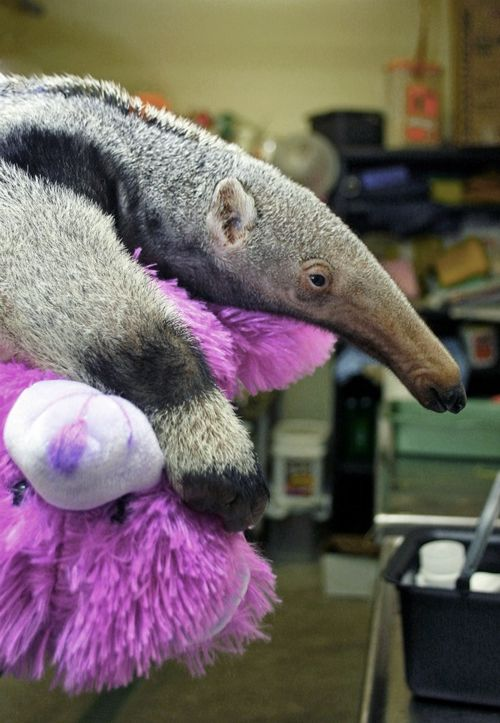 Baby Anteater at Roger Williams Park Zoo 2