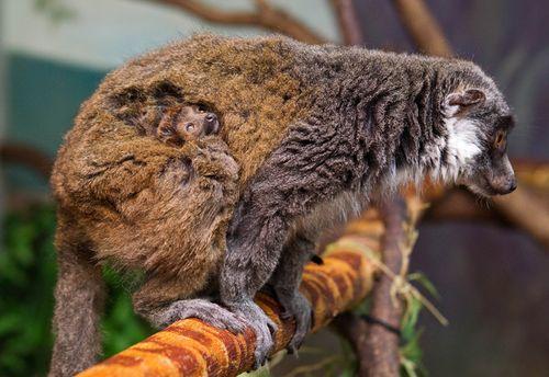 BG-Mongoose-Lemur-2