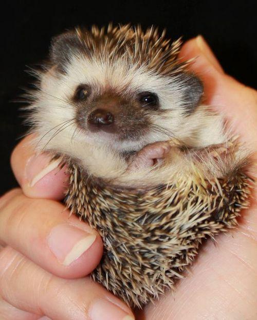 Happy_Hollow_Hedgehogs4