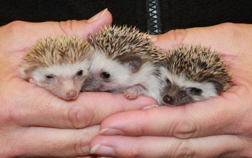 Happy_Hollow_Hedgehogs