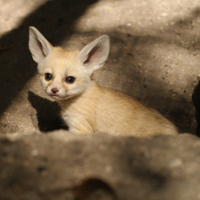 Palm_Beach_Zoo_Fennec-Fox-2