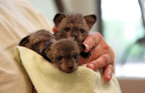 Cincinnati_Zoo_Bat-Eared_Fox_4