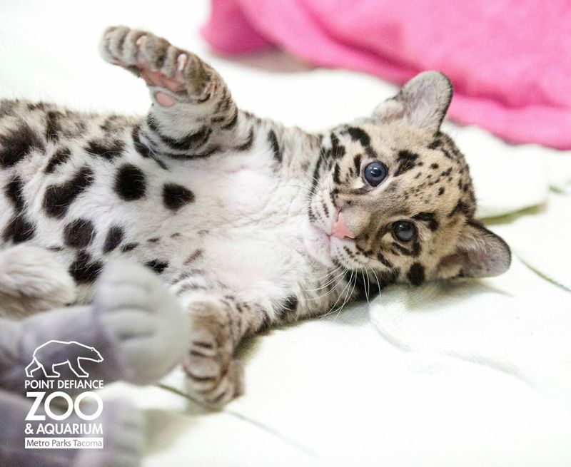 Point Defiance Zoo Clouded Leopard Cubs 1