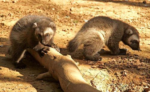 Wolverine Cubs Together Cotswold Wildlife Park