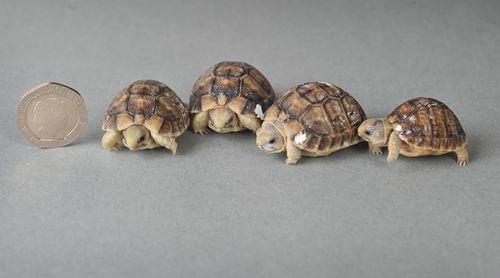 SN_Tortoise_solent_4-(4)