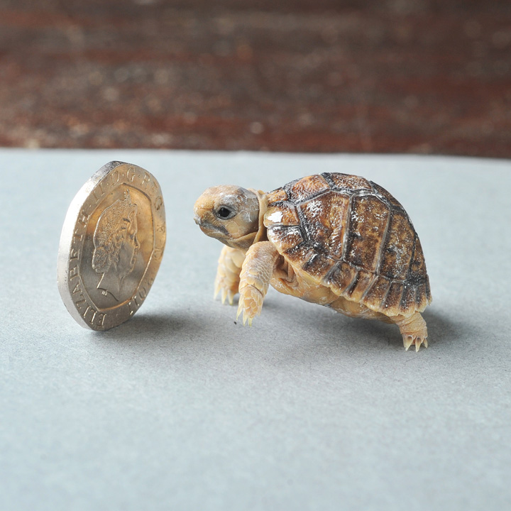 SN_Tortoise_solent_2