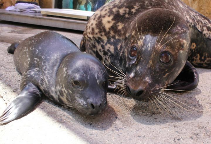 Harbor Seal Pup Aquarium of the Bay 1