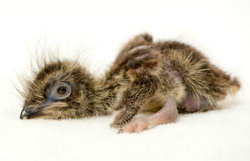 20120503_Red Legged Seriema Baby_02