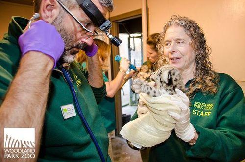 Snow Leopard Cub Woodland Park Zoo 5
