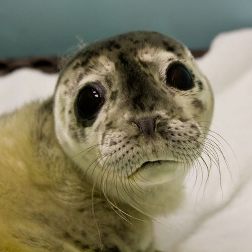 Stranded Seal Pup, Probably a Preemie, Gets a New Lease on ...