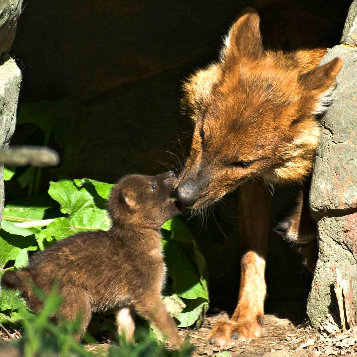 Dhole Pup at Minnesota Zoo Plays with Mom 1b