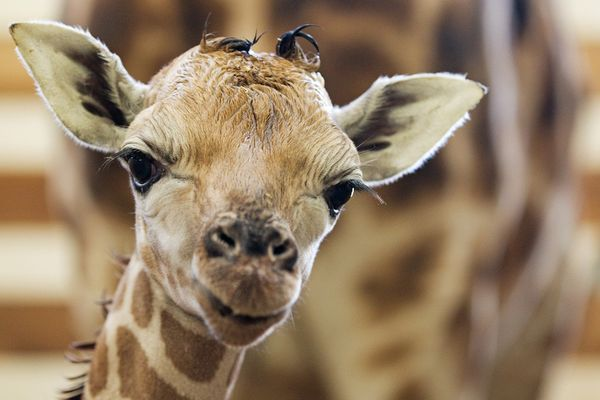 Giraffe Lovers Look No Further... Two Calves Born At ...