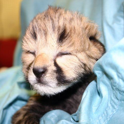 Simthsonian-Zoo-Cheetah-Cubs10