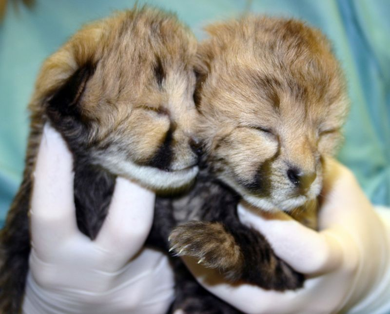 Simthsonian-Zoo-Cheetah-Cubs8