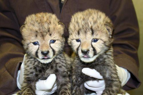 Simthsonian-Zoo-Cheetah-Cubs4