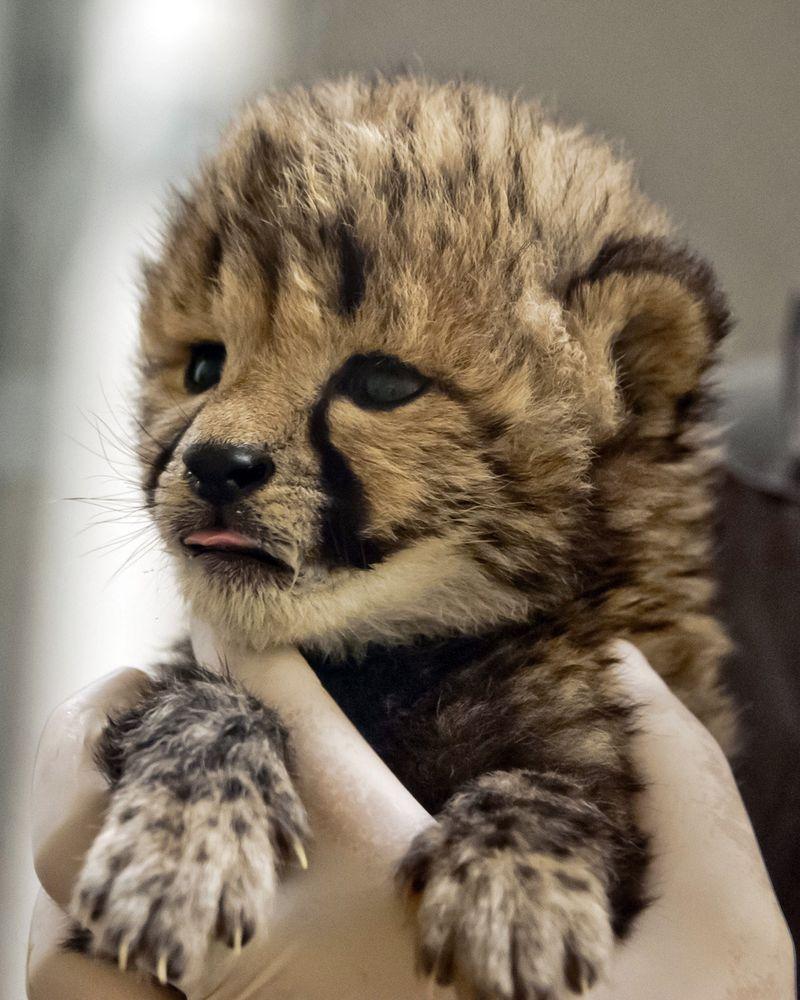 Simthsonian-Zoo-Cheetah-Cubs