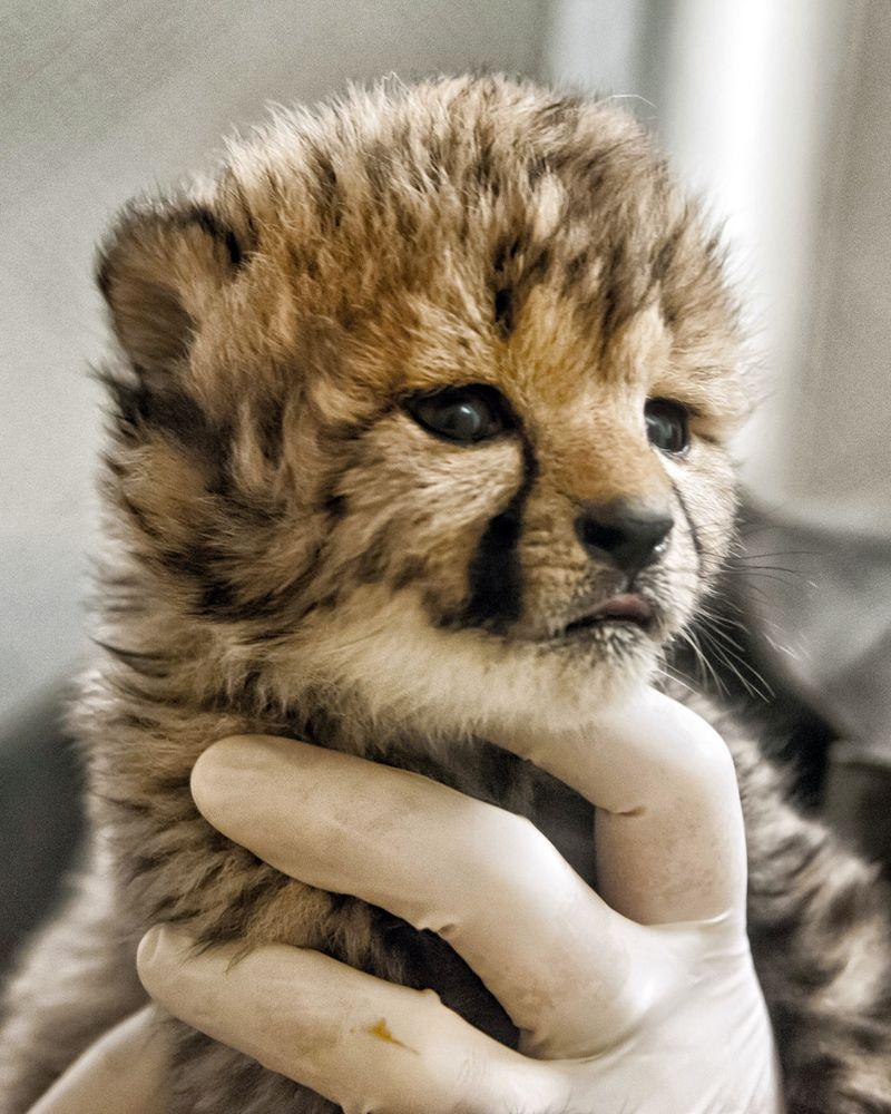 Simthsonian-Zoo-Cheetah-Cubs3
