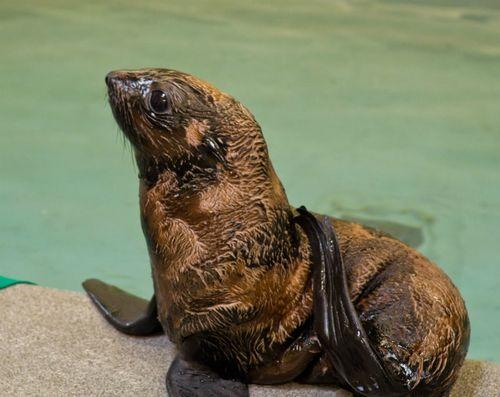 Fur Seal Pup in Profile