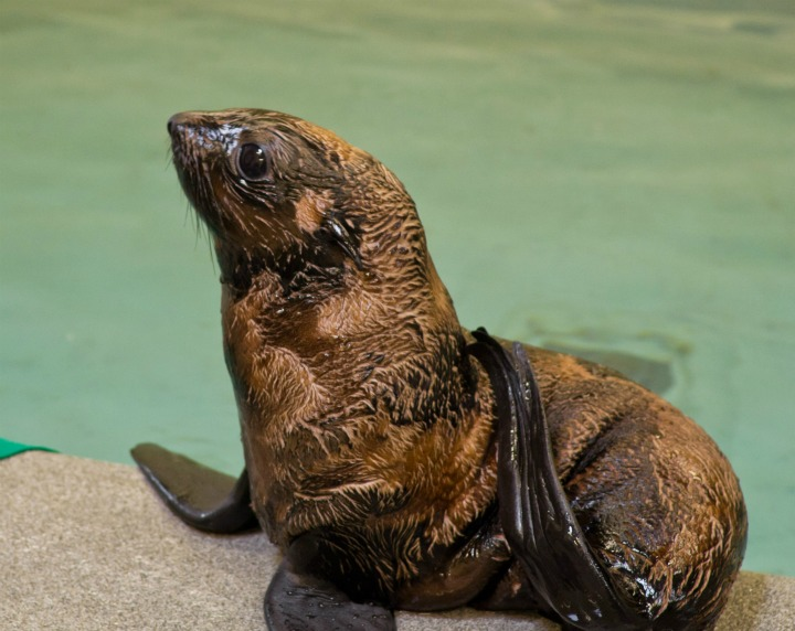Fur Seal Pup in Profile