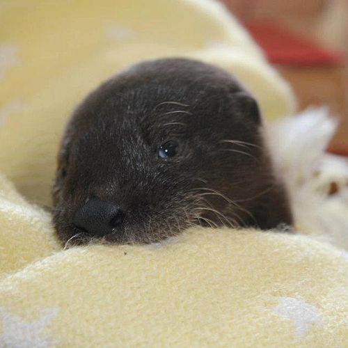 Otter-Pup-Virginia10