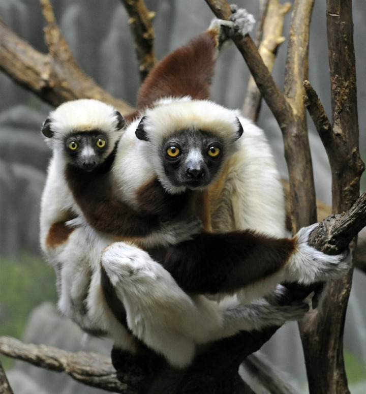 _Julie Larsen Maher 6551 Coquerel's Sifaka and Baby MAD BZ 04 25 12