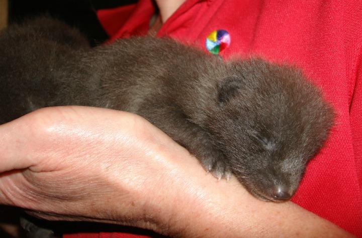 Artic Fox Kit Sleeping at Como Zoo 3