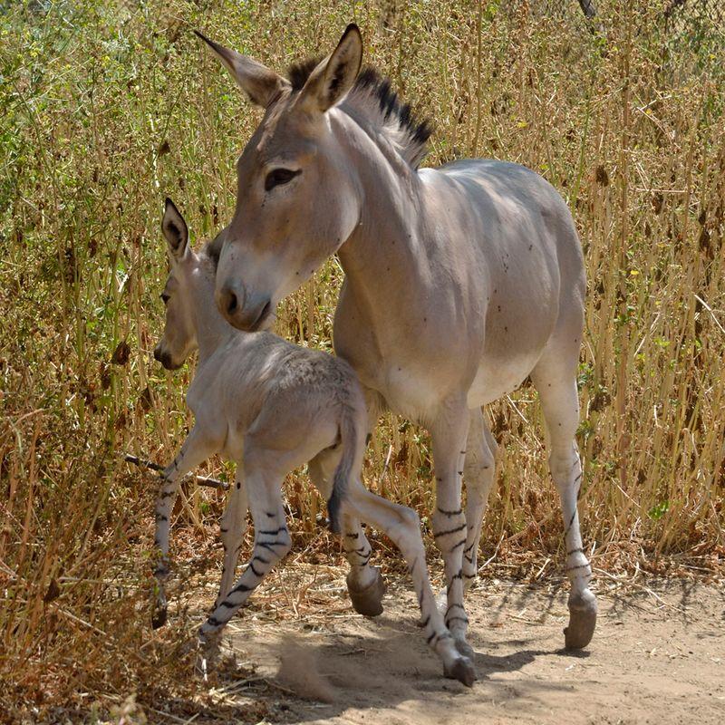 Ramat-Gan-Wild-Ass-Foal