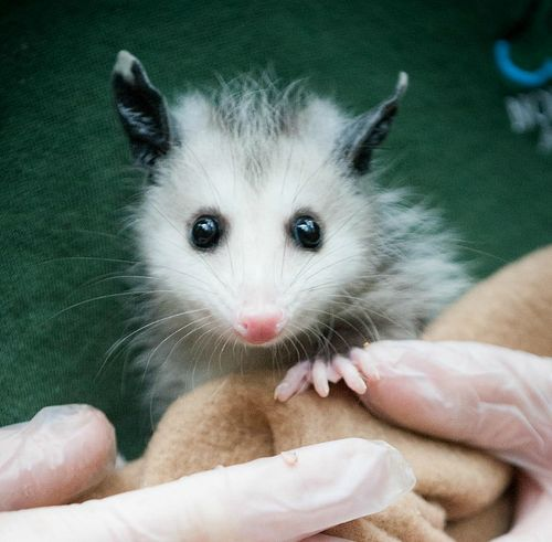 Baby Opossum Close-up at Northwest Trek