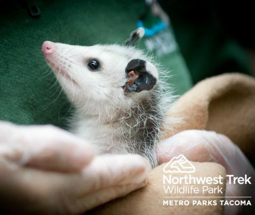 Baby Opossum at Northwest Trek 2