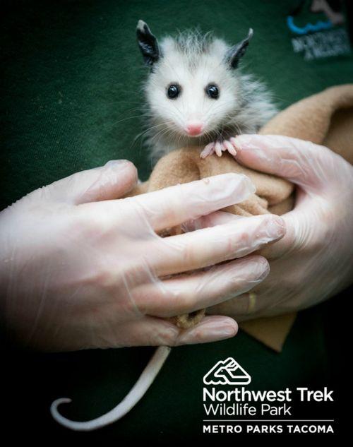 Baby Opossum at Northwest Trek 1