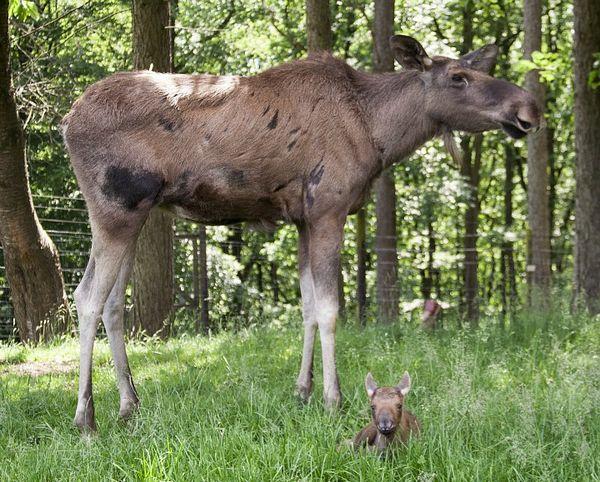 Moose / Eurasian elk Alces alces in the taiga in autumn, Värmland ...