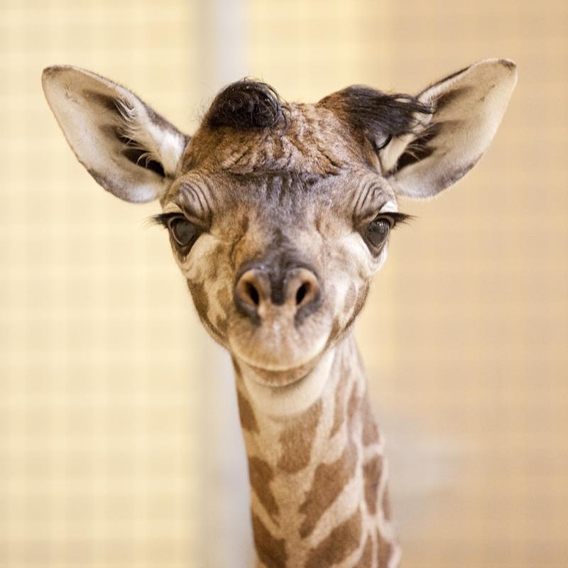 Nashville Zoo_Masai