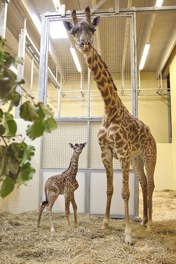 Nashville Zoo_Masai #3DB20A