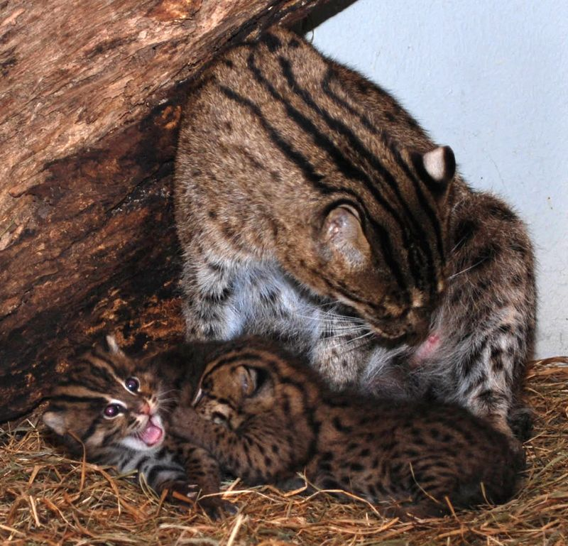 Fishing Cats Mehgan Murphy 5