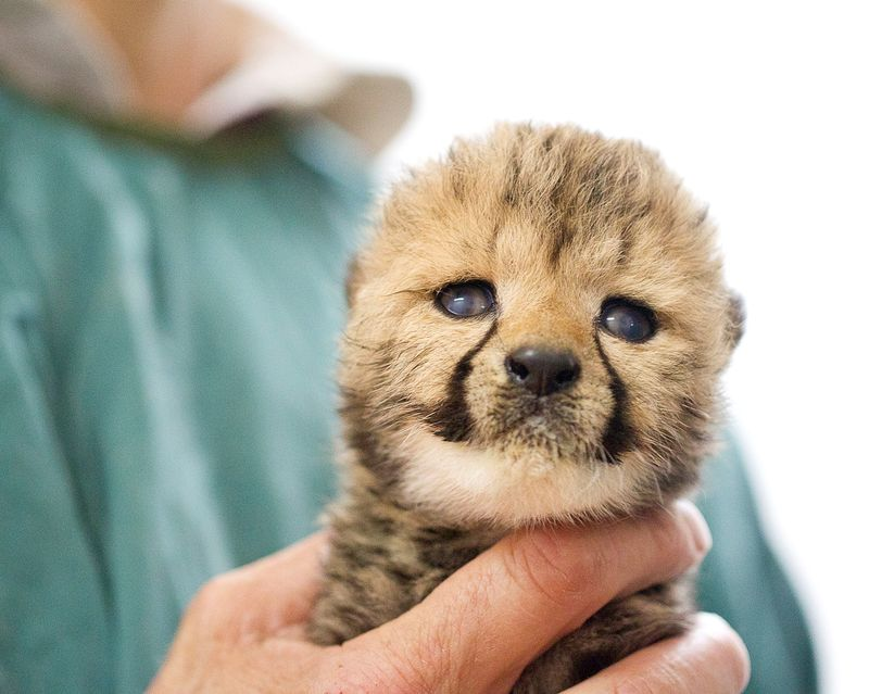 Cheetah Cub - face