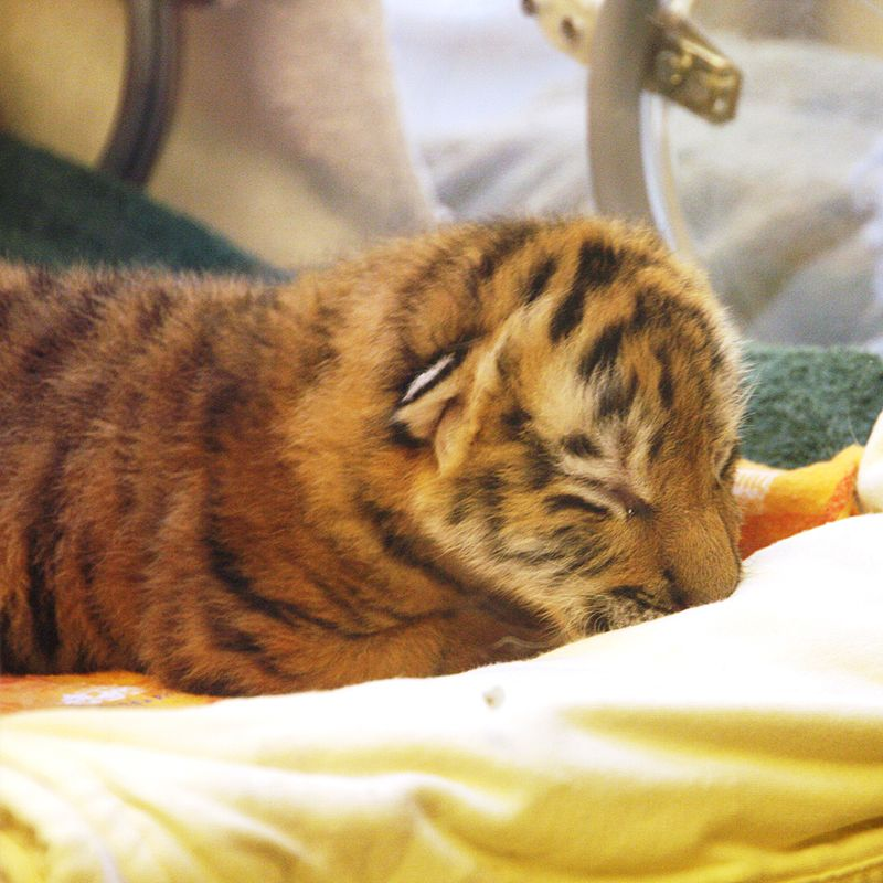 Amur-Tiger-Cub---Sleeping